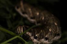 Convolvulus Hawk-moth Larva Caterpillar Eating A Leaf, Extreme Macro