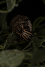 Caterpillar Of Convolvulus Hawkmoth Eating A Leaf, Close-up