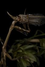 A Cone-head Mantis Devour A Moth, Wildlife Monster Macro