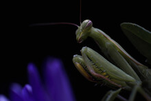 A Green Praying Mantis On A Purple Callistephus Flower