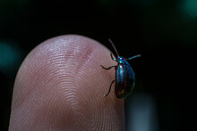 Jewel Metallic Shield Bug On A Finger, Extreme Macro Photo