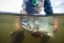Over-under Shot Of Fly Fisherman Holding An Alaskan Pink Salmon