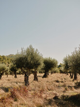Olive Grove In Portuguese Countryside
