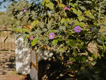 Morning Glory Flowers In Portuguese Countryside