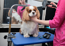 A Groomer Dries The Coat Of Cavalier King Charles Spaniel In The Animal Salon.