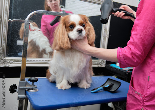 Fotografia, Obraz A groomer dries the coat of Cavalier King Charles Spaniel in the animal salon