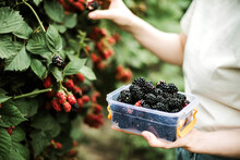 Cropped Image Of Woman Harvesting Blackberries From Plants At Fa
