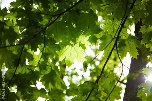 Fototapeta spring park with green leaves
