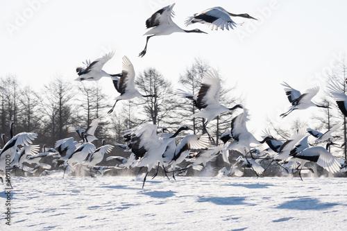 Canvas Print 鶴の群れ