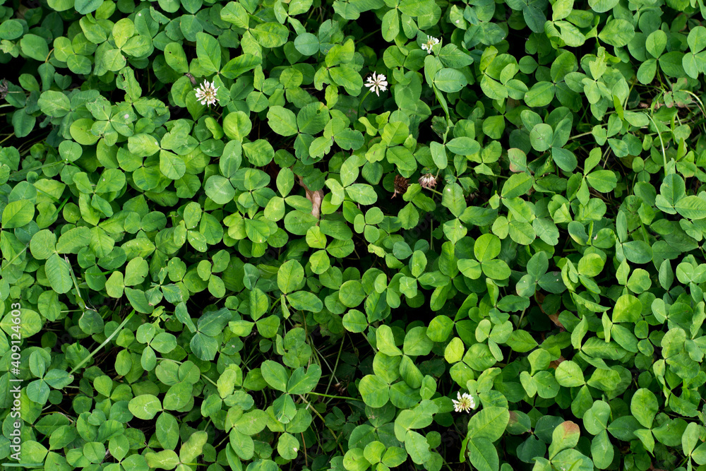 Fototapeta Top view of green four-leaf clovers growing