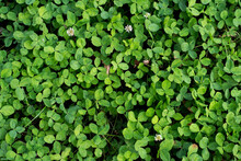 Top View Of Green Four-leaf Clovers Growing