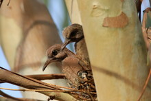 Two Turtle  Dove Chicks In The Nest