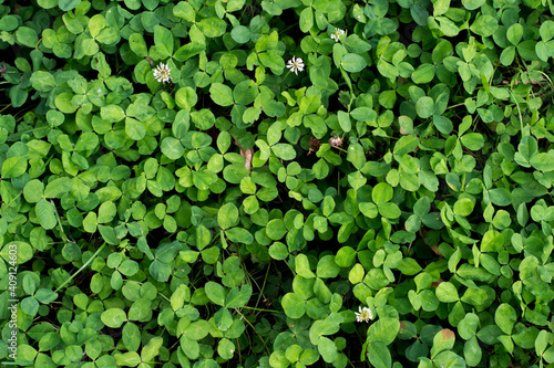 Photo Top view of green four-leaf clovers growing