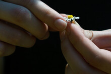 White Daisy In Hands Of A Young Woman Plucking Leaves