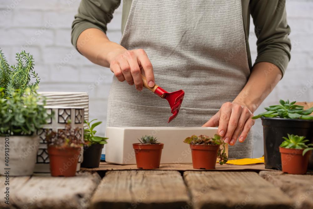 Fototapeta A girl at home makes a plant or flower transplant at home. Working with plants