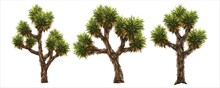 Joshua Tree Vector Images It Is A Tree In The Desert Of America.