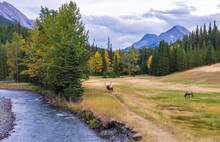 Wild Bull Elk Resting And Foraging Alone In Prairie By The Riverside At Forest Edge In Autumn Foliage Season. Banff National Park, Canadian Rockies. Alberta, Canada.