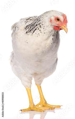 Canvas-taulu one white chicken isolated on white background, studio shoot