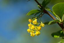 Common Barberry (Berberis Vulgaris) Or European Barberry, A Shrub In The Genus Berberis, Family Berberidaceae. Shrub With Yellow Long Panicles Flowers Blooming In Late Spring.