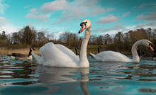 Large White British Mute Swan Swans Low Water Level View Close Up Macro Photography On Lake In Hertfordshire With Canadian Geese In Background