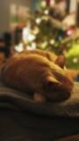 Fototapeta Zwierzęta - Kot kociak zwierzę domowe biszkoptowy śpiący leniwy portret kota