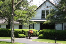 A Chestnut Stallion Walking Into A Beautiful White Barn Among Green Shrubs And Trees In The Spring.