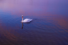 Beautiful Swan Swimming In Lake At Sunset Time.
