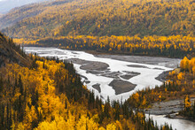 Yellow Birch Trees With Braided River In Fall In Alaska
