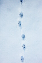 Footprints Of Foxes Paw In The Snow