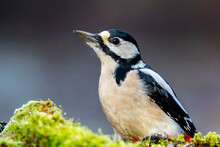 Portrait Of A Female Great Spotted Woodpecker, Dendrocopos Major
