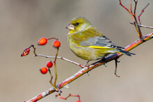 Male European Greenfinch, Chloris Chloris, Autumn Portrait. The Bird Perches On A Branch With Red Berries On A Uniform Background