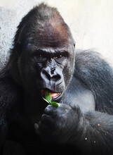 Adult Silverback Gorilla Eating A Plant