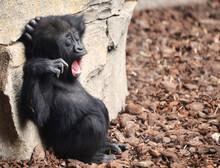 Funny Sleepy Baby Gorilla Yawning