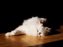 Beautiful Fluffy White Cat Enjoying The Sun Spot