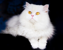 Beautiful Fluffy White Cat With Yellow Eyes Relaxing