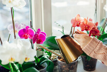 Watering Orchids Phalaenopsis With Golden Metal Watering Can. Woman Taking Care Of Home Plants. Home Hobbies