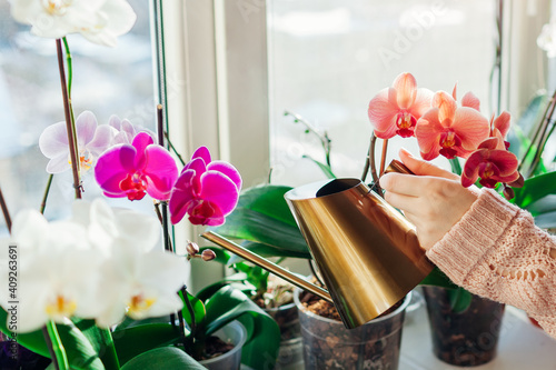 Fotografie, Obraz Watering orchids phalaenopsis with golden metal watering can