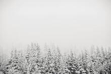 Snow Storm Covered Pine Trees Recede Into Fog, Saddleback, Maine