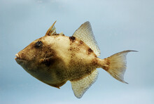 Gray Triggerfish ( Balistes Capriscus ). Gulf Of Mexico.