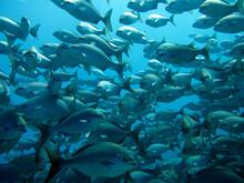 A School Of Brown Chub (Kyphosus Bigibbus), Underwater Photography , Fishes Of Flower Garden Banks