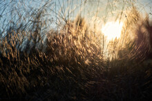 View Of The Sunset Sun Through Tall Grasses. Background