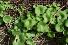 Round Green Leaves Of Wall Pennywort (Umbilicus Rupestris) Growing From Behind A Wire Mesh