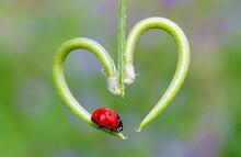 From Nature Ladybug