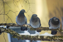 Three City Pigeons Sitting On A Tree Branch