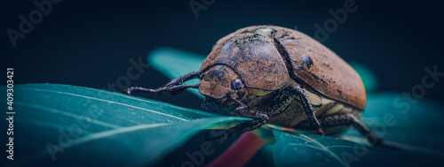Valokuvatapetti Orange-brown color Old Beetle on a leaf, macro close up wildlife photo