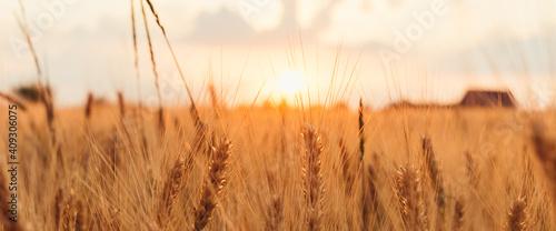 Fototapeta Agriculture sunset landscape. Close up of ears of golden wheat under soft orange and pink sunset light. Summer landscape wide banner obraz