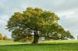 Oak tree in the field