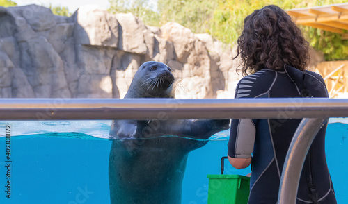 Foto Portrait of a seal in a pool looking at its keeper waiting for its food