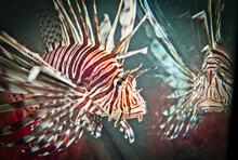 Red Lionfish Underwater Stock Photo Cayman Islands, Animal, Animal Fin, Animal Wildlife, Animals Hunting.Pterois Is A Genus Of Venomous Marine Fish.invasive Species