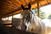 Portrait White Horse With Brown Face Patches In Sunny Stable Stall